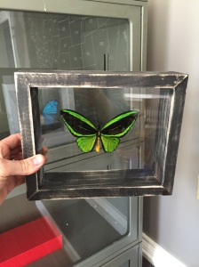 And the result...a beautifully preserved Birdwing butterfly on one of our handmade floating glass frames.